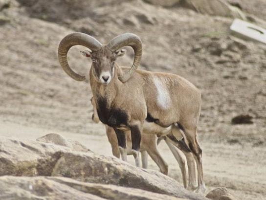 armenian-mouflon_29